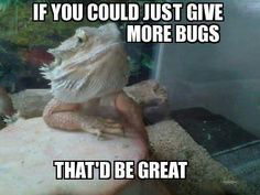 bearded-dragon-bugs