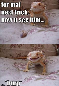 bearded-dragon-burp