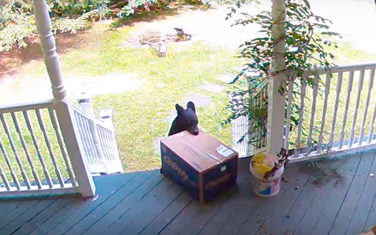 Bear Steals Chewy Box