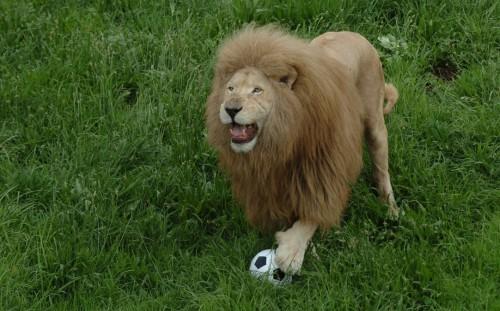 football-lion